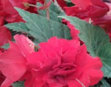 04-1-fleur-annuelle-560-660