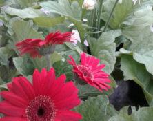 04-2-fleurs-annuelles-560-660