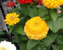 04-4-fleurs-annuelles-560-660