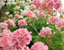 04-6-fleurs-annuelles-560-660