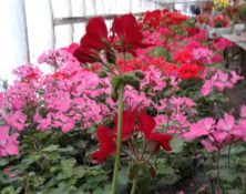 04-7-fleurs-annuelles-560-660