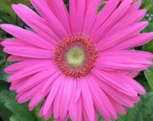 04-fleur-annuelle-560-660